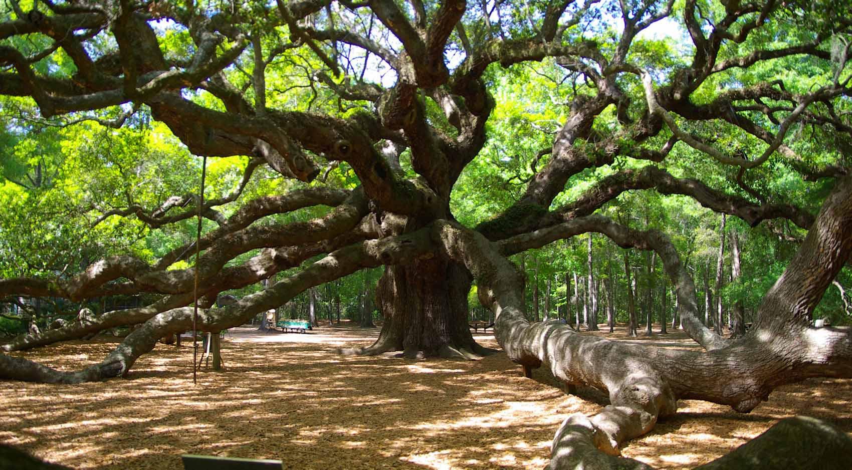 Angel Oak Tree In Johns Island