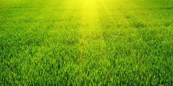 Greener Yard