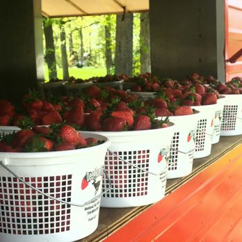 Strawberry Picking in Midland, NC