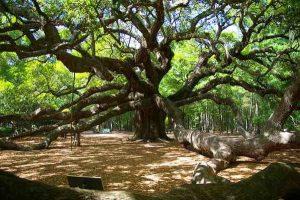 Famous Angel Oak Tree in SC